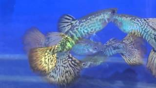 Poecilia reticulata Гуппи Мозаика Guppy Glass Mozaic Mail