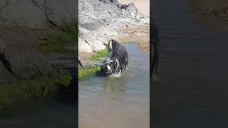 Dylan the water dog