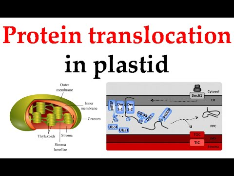 Protein translocation in plastids.flv