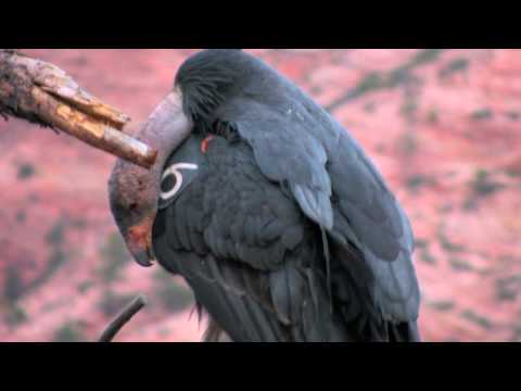 California Condors in Zion National Park