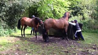 Part bred Arab stallion with maiden mare covering