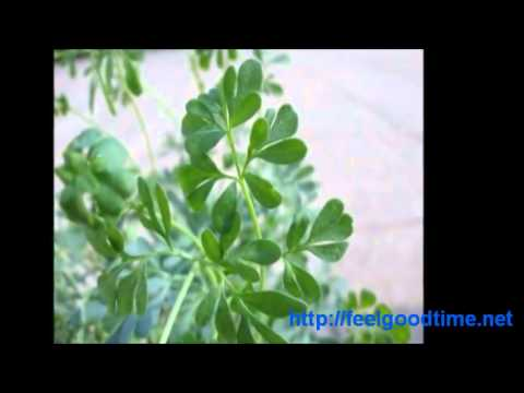 What is Ruta Graveolens Plant, Rue Herb Uses?