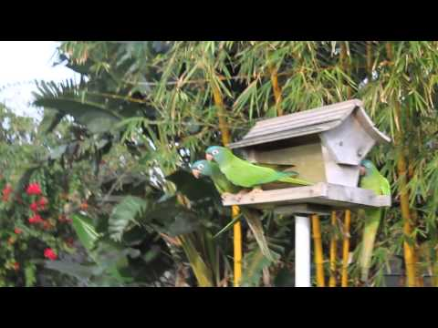 Blue Conyers- Feral Parrots of Space Coast- Indian Harbour Beach, FL