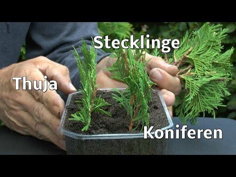 Thuja Stecklinge Von Koniferen Ganz Einfach Vermehren Zeigt Der Gärtner
