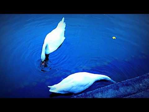 A Pair of Mute Swans at Botanic Gardens-Singapore
