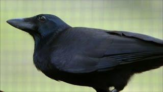 Are crows the ultimate problem solvers? - Inside the Animal Mind - BBC