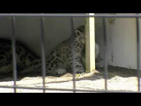 尻尾にじゃれるユキヒョウの赤ちゃん~Snow Leopard is playing by mother's tail