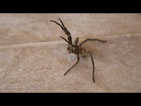World's Most Aggressive and HUGE Spider ATTACKS!.wmv