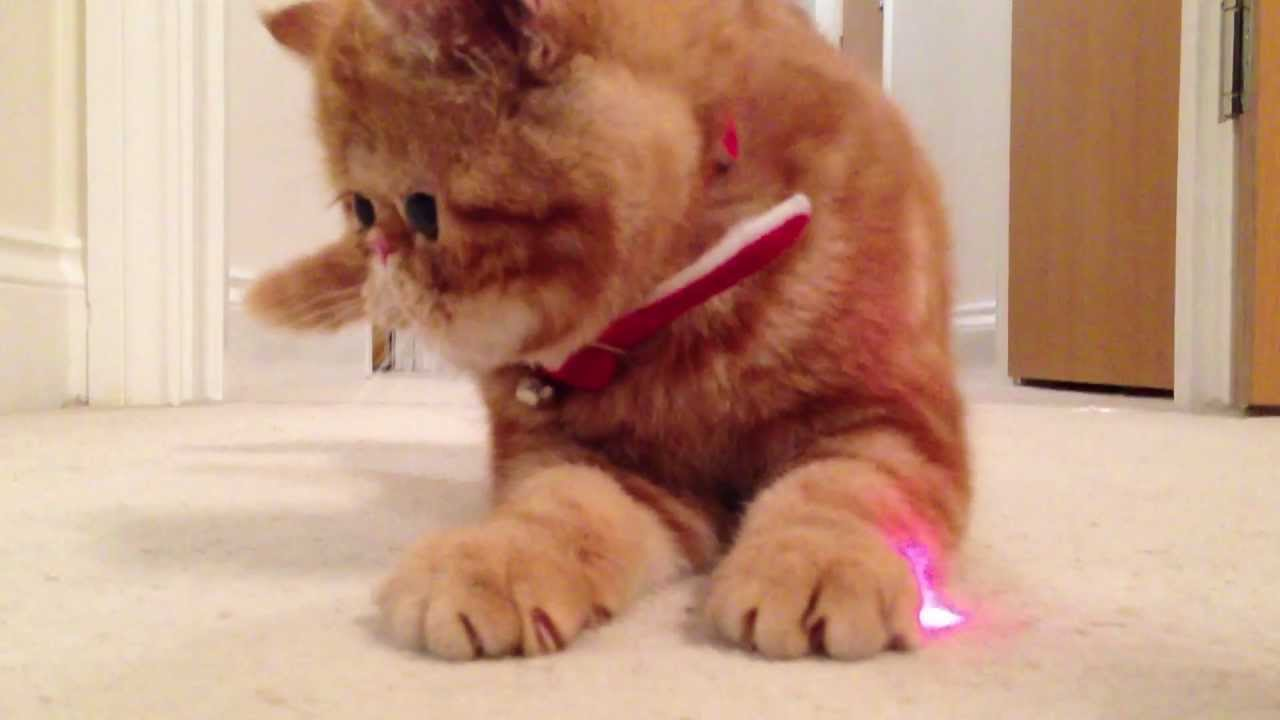 Snoopy The Cat Breed Cat   Laser   FUN - Mila the