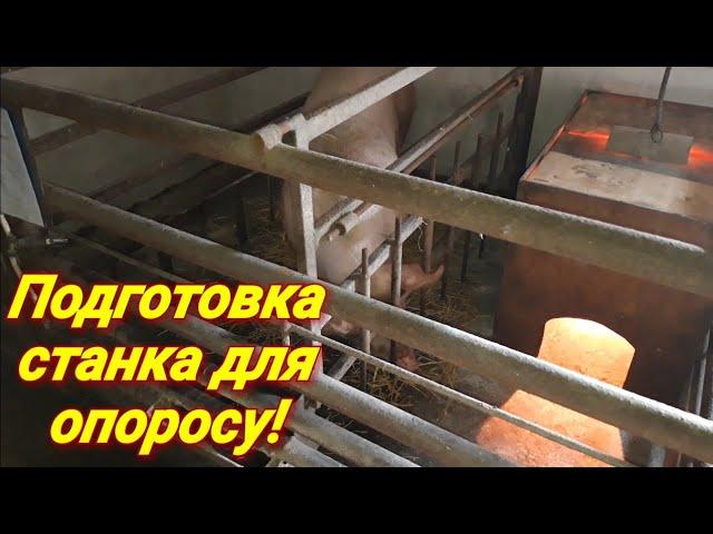 Клетка для опороса, фиксация свиноматки, подготовка свиноматки к опоросу!