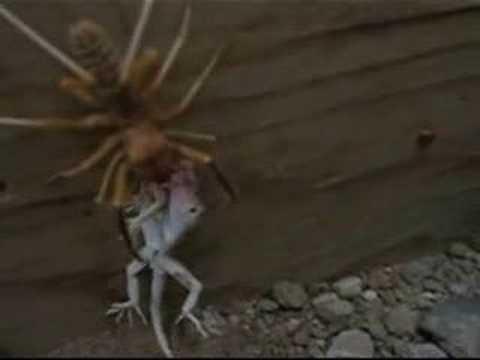 Largest Camel Spider On Record Hqdefault.jpg