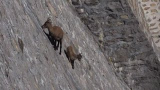 Alpine Ibex defies gravity on Italian near-vertical dam