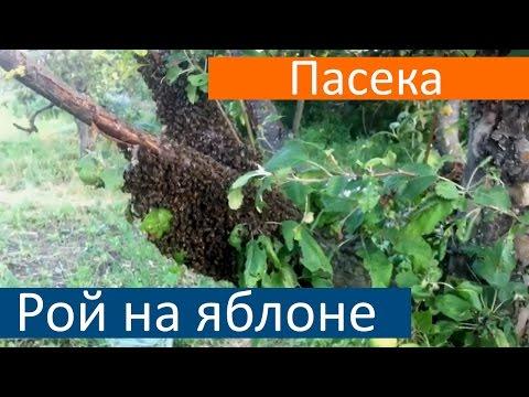 где ловить диких пчел