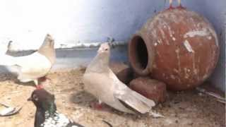 Agra beautiful pigeons 41 India-Indian