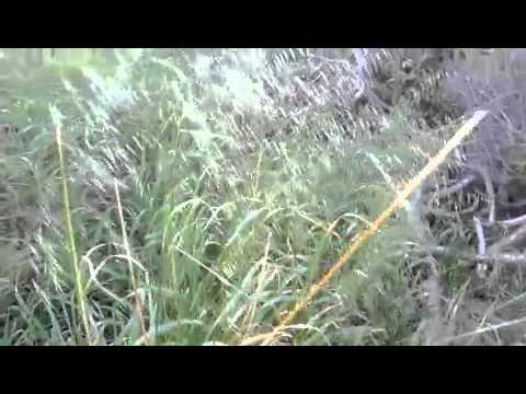 Bird Food Plants for Pet Birds Wild Oats 280810