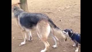 Funny German Shepherd Compilation