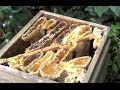ニホンミツバチ採蜜2013 How to get honey of Japanese honey bees 2