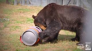 Brown Bear Rescue from Japan to Yorkshire Wildlife Park - Short Film