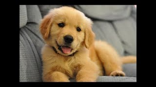 Funniest And Cutest Golden Retriever Videos 2017 - Funny Dogs Compilation