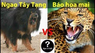 Tibetan mastiff vs Leopard, who would win #47 -- Did You Know?