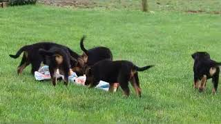 German Shepherd Puppies For Sale Jake Petersheim