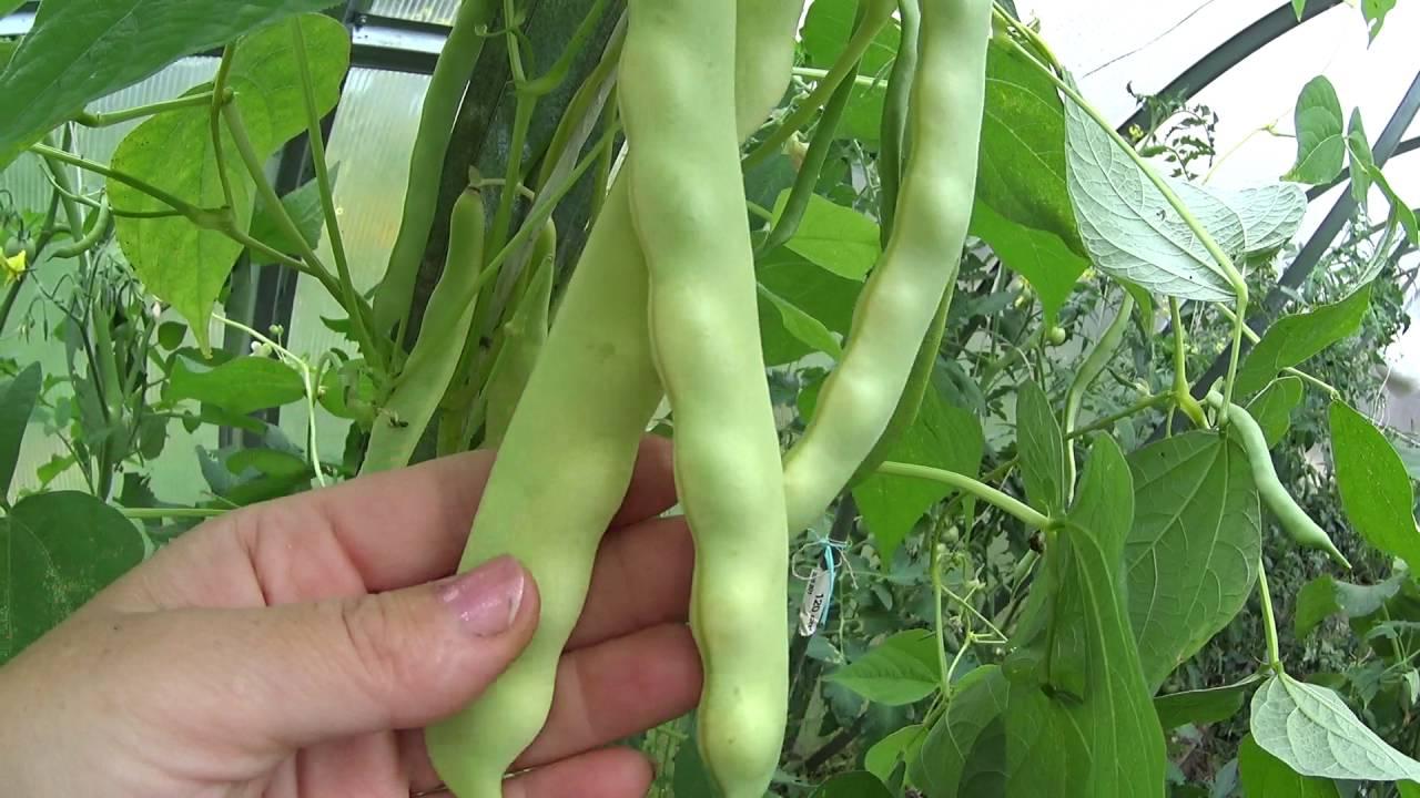 Фасоль графиня выращивание 44