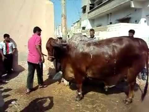 [Big Giant Bull name Prince Taking Bath .] Video