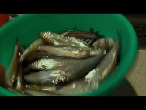 клев рыбы на опарыша