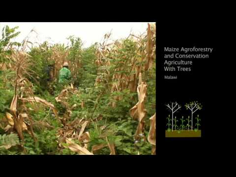 Evergreen Agriculture: Solving Hunger in Africa