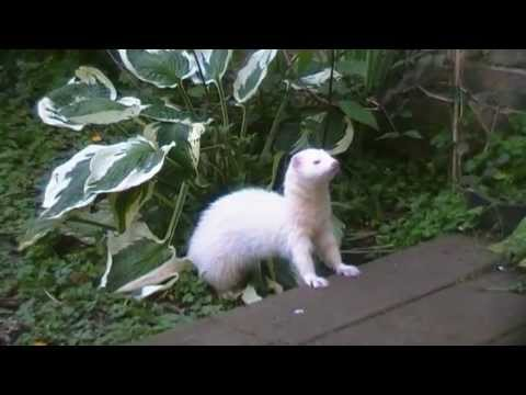 Five Things Ferrets do Best