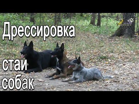 Дрессировка стаи собак, произвольная программа