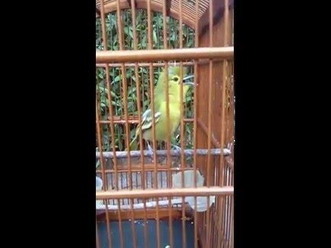 media burung sirpu