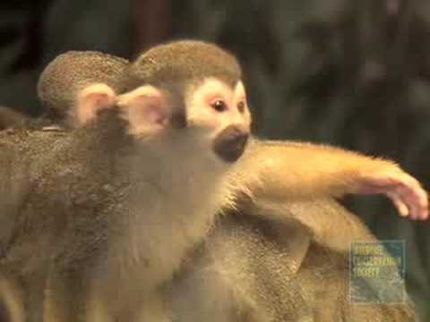 Squirrel Monkey Babies at the Bronx Zoo