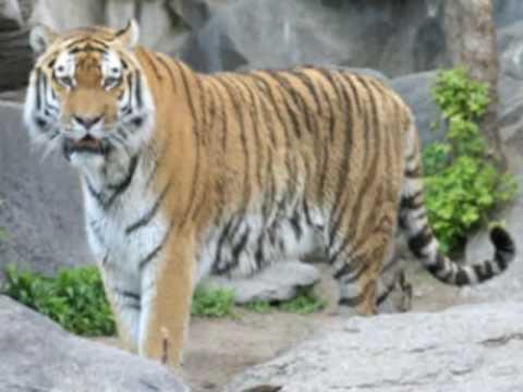 The Caspian Tiger - YouTube