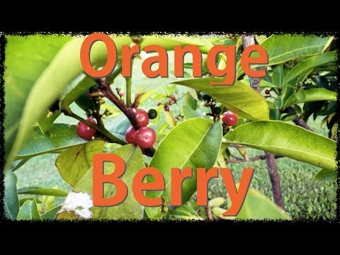 Orange Berry - Bush Food Native to Australia
