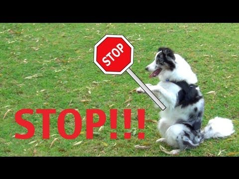 0 Safety Stay  clicker dog training tricks