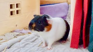 Guinea Pig Introduction & Bonding with so much Popcorning