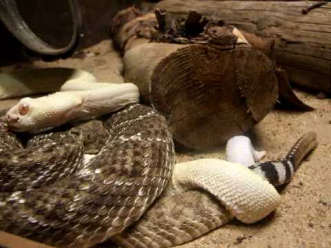 serpientes de cascabel reproduciendose en REPTILE HOUSE SIOUX CITY GRAN CANARIA