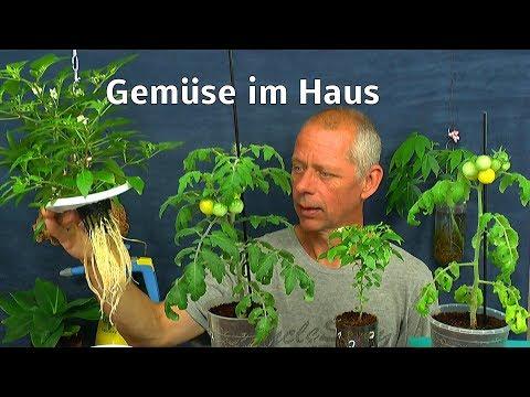 Gemüse im Haus Tomate Chili Mutant und Kräuter Petersilie