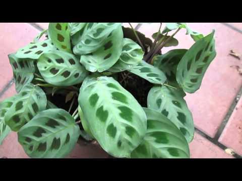 Maranta leuconeura - Marante, Prayer Plant на сайте doc-lab.ru