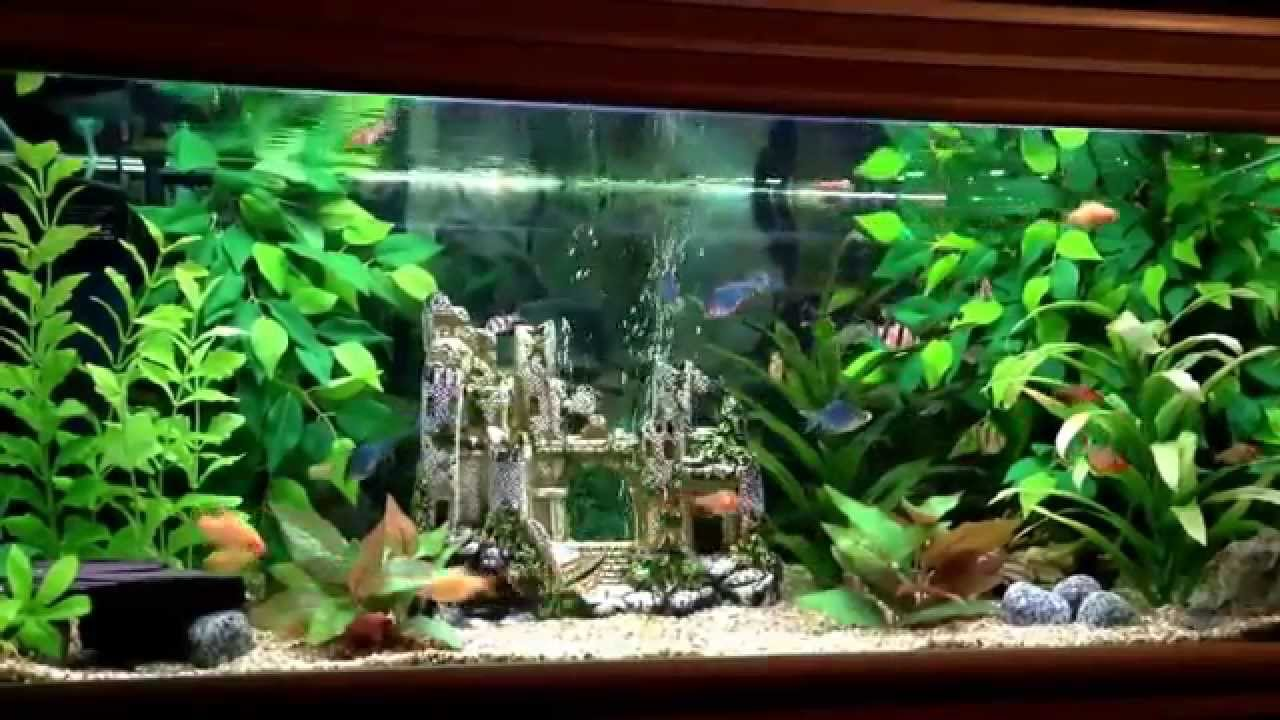 Active tiger barbs in my jungle theme fish tank. - YouTube