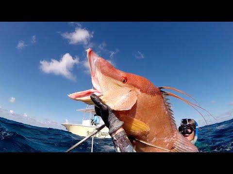 Spearfishing Bahamas 2014 *Monster Hogfish*