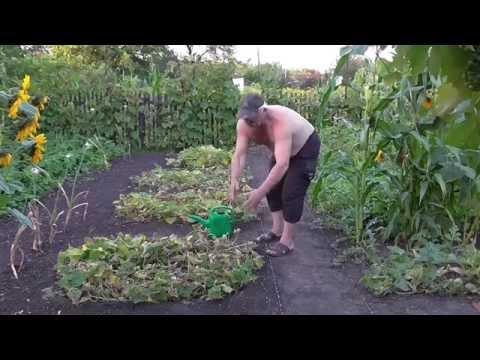 Можно ли сажать кукурузу рядом с арбузами 51