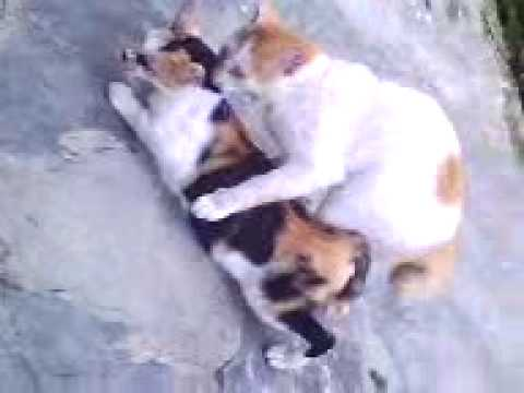 sEX Kucing