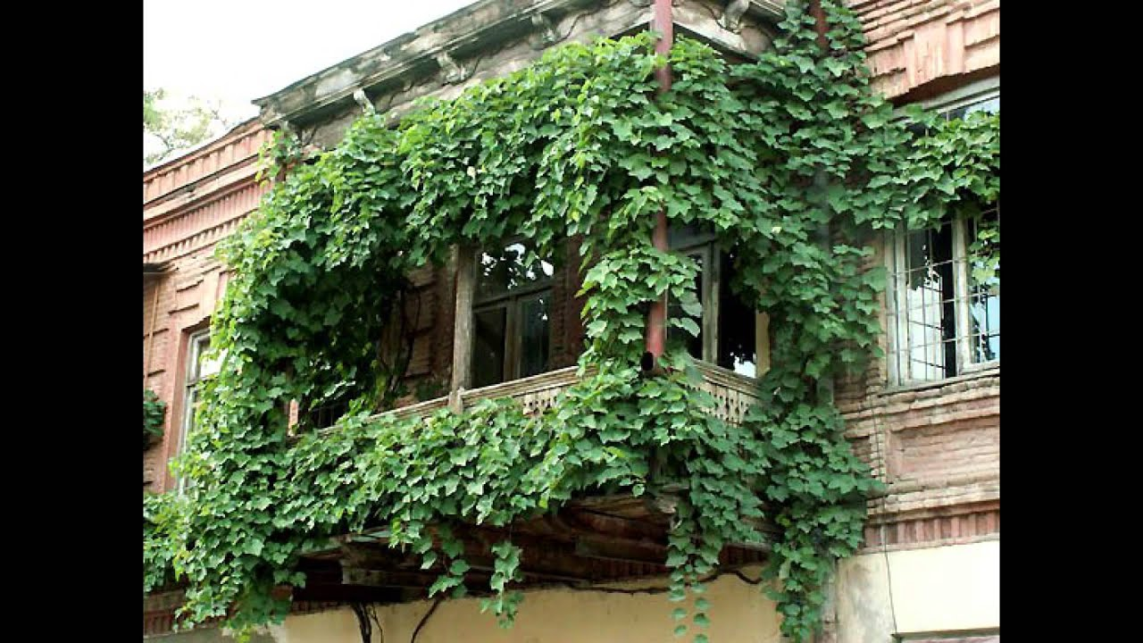 Вьющиеся цветы для балконов