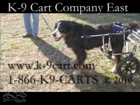 Sabrina - a Bernese Mountain Dog in a K-9Cart.com Dog Wheelchair Video