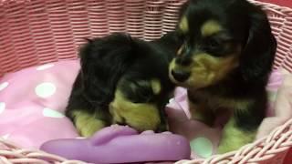 【かわいい子犬】ミニチュアダックスフンド
