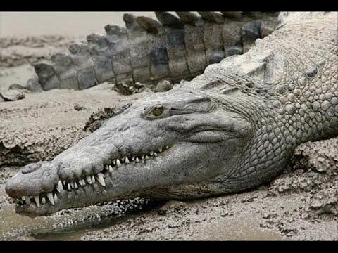 Homenaje a Steve Irwin (El cazador de cocodrilos)