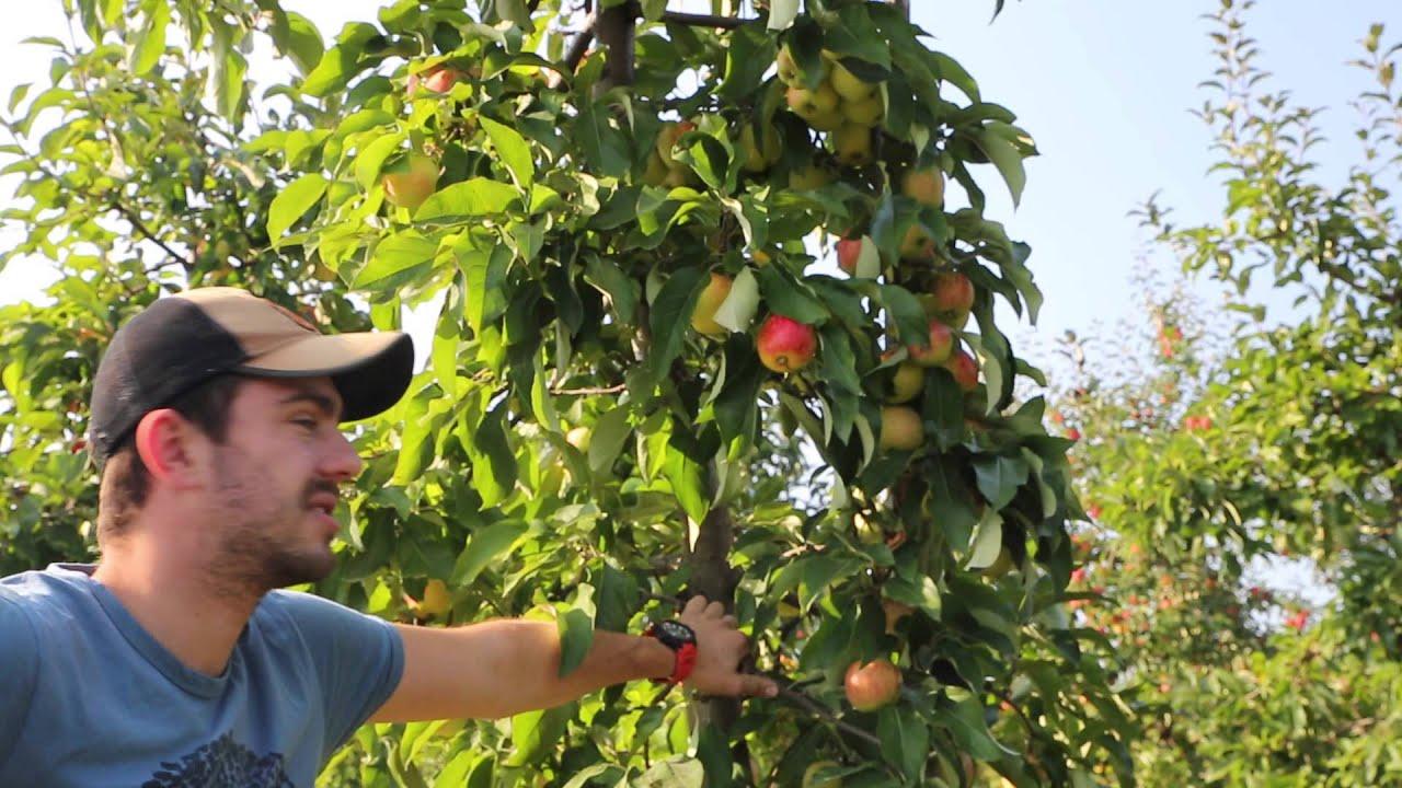 choroby przechowalnicze, jabłka odmiana celesta, podtrzymanie owoców, opadanie owoców, ograniczenie opadania, jędrność owoców, uprawa jabłek, jakość owoców, forum sadownicze