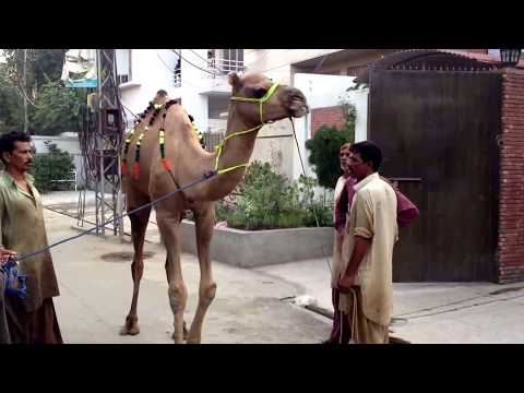 Camel Qurbani (nahar) On Eid Ul Azha 2013 Hd video